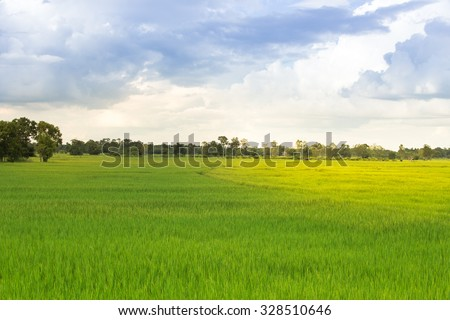 Rice Farm in northeastern of Thailand, Rice was nearing harvest time. - stock photo