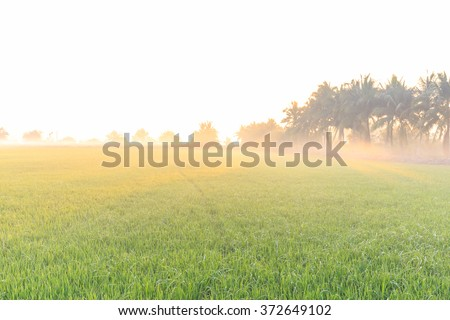 Rice farm in the morning light with fog - stock photo