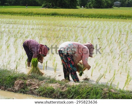 RICE FARMING, CAMBODIA-JULY 12, 2015: Rice farming is a main agricultural in Cambodia. Farmers are planting rice in the rainy season on July 12, 2015. Rice is produced for 15 million Cambodians year. - stock photo