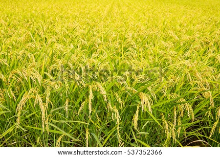 Rice farmland