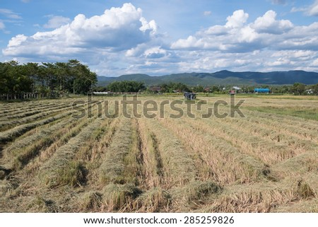 Rice field after harvest
