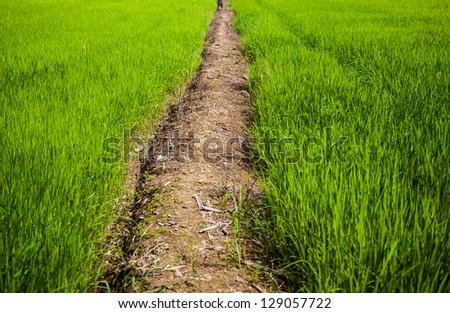 rice field and walk way