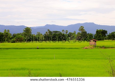 Rice field at Sukhothai , Thailand
