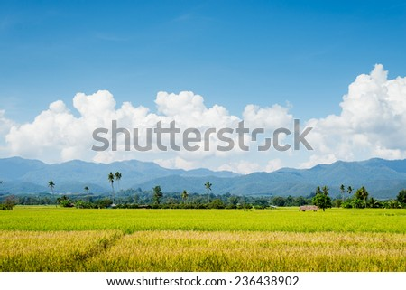 Rice field  blue sky cloud cloudy landscape background - stock photo