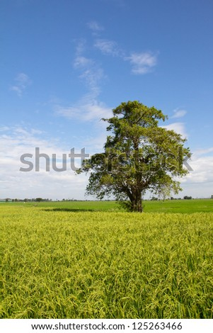 Rice field green grass blue sky