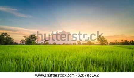 Rice field green grass landscape sunset - stock photo