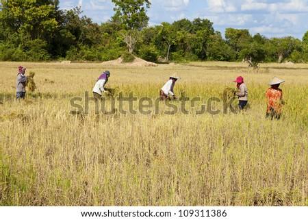 Rice field in Cambodia - stock photo