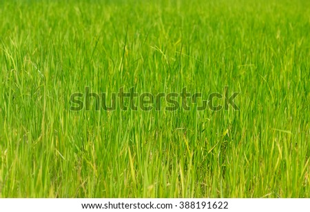 Rice field in Cambodia. Young plants - stock photo