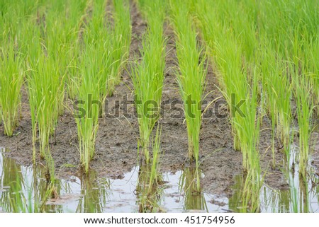 rice field in early stage