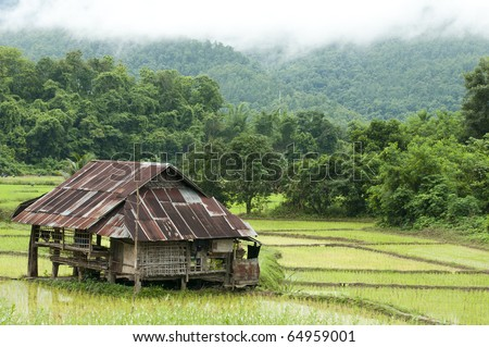 Rice field in early stage and hut at background - stock photo