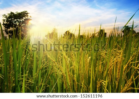 Rice field in the morning - stock photo