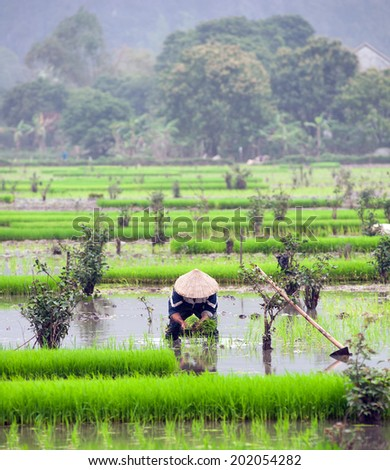 Rice field in Vietnam. Ninh Binh rice paddy