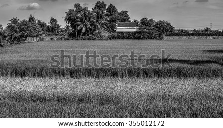 Rice field. Monochrome  - stock photo