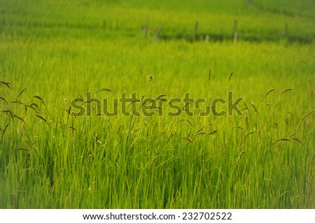 Rice field near Luang Prabang, Laos - stock photo