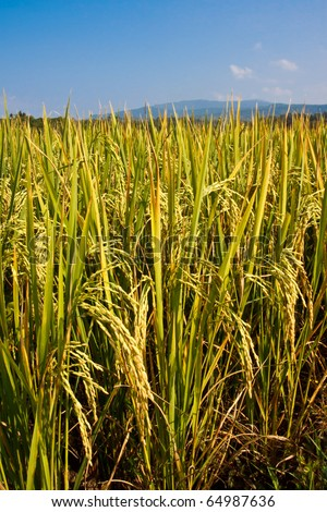 rice field ,ready to harvest