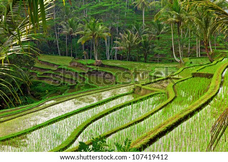 Rice field terrace in Bali, Indonesia - stock photo