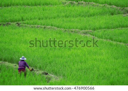 rice field Terraced green farmer harvest