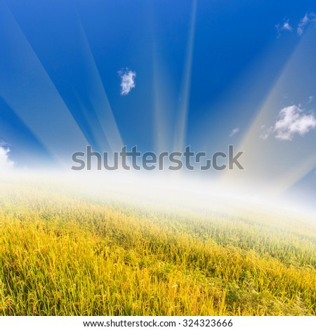rice field under the blue sky with sunray - stock photo