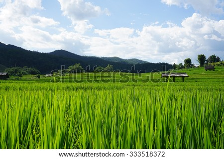 rice field with mountain and sky background
