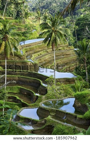 Rice field with on terraced in Bali, Indonesia - stock photo