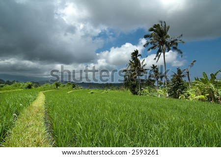 Rice field with palms and clouds - stock photo