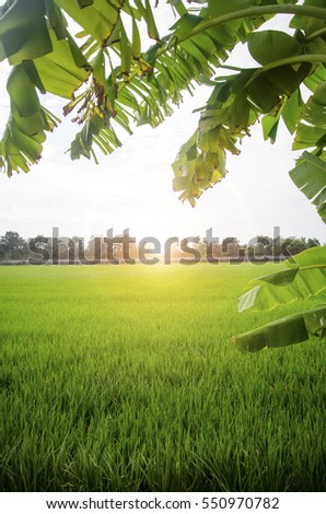 Rice field with sunrise