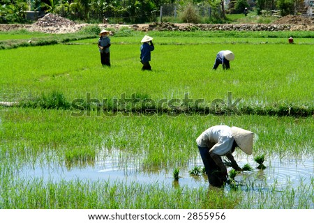 Rice field workers - stock photo