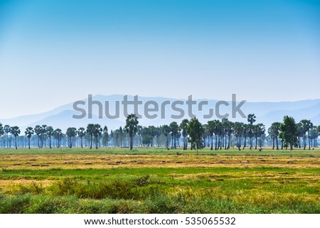 Rice fields and sugar plam in Phetchaburi,thailand