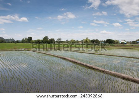 Rice fields, began to grow in the countryside - stock photo