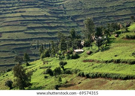 Rice Fields in Kisoro District in Uganda - The Pearl of Africa - stock photo