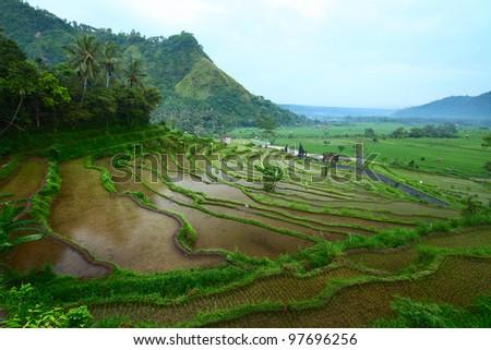 Rice fields on Bali island - stock photo