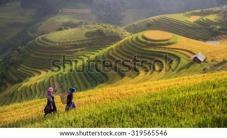 Rice fields on terraced in rainny season at Mu cang chai, Vietnam. Rice fields prepare for transplant at Northwest Vietnam