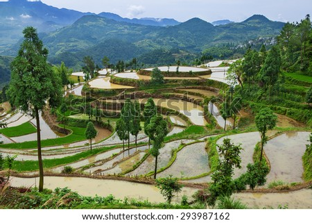 Rice fields on terraced in surice, China - stock photo