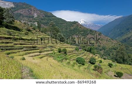 Rice fields on the way to the Annapurna, Nepal - stock photo