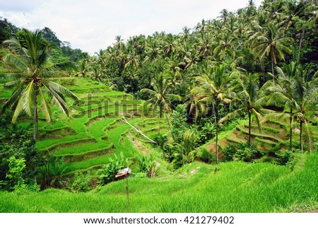 Rice fields, prepared for rice. Bali, Indonesia.