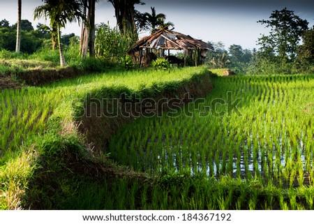 Rice fields, Senaru, Lombok, Indonesia, Southeast Asia - stock photo