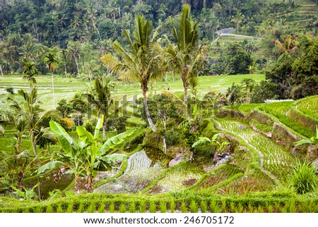 Rice fields terraces with fresh young rice, in Bali, Indonesia - stock photo