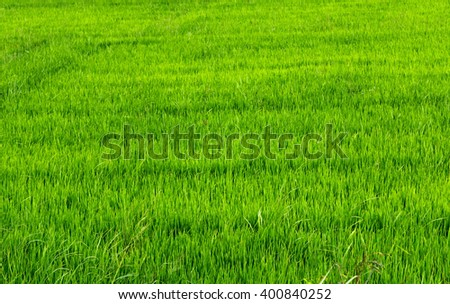 rice green field in Asia agriculture - stock photo