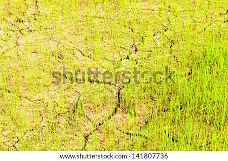 Rice growing on drought field, drought land  - stock photo