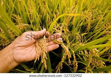Rice harvest - stock photo