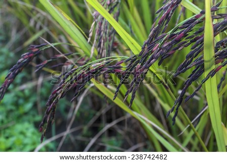 Rice in green paddy about ready to be harvested.black beans - stock photo