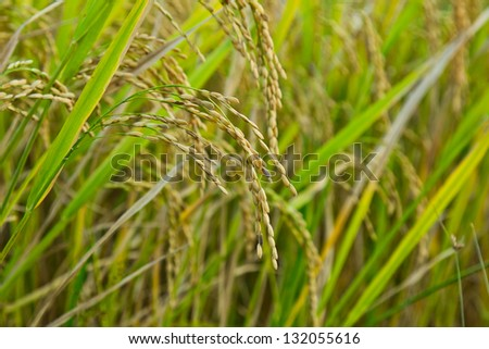 Rice in the rice fields. Awaiting harvest. Cooked rice harvest - stock photo