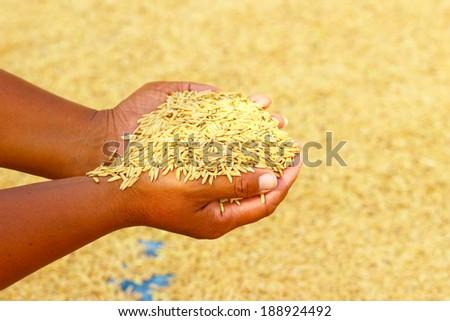 Rice kernel in farmer's hand. - stock photo