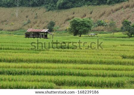Rice paddies - stock photo