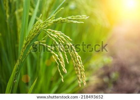 rice paddy - stock photo