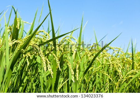 rice paddy field - stock photo