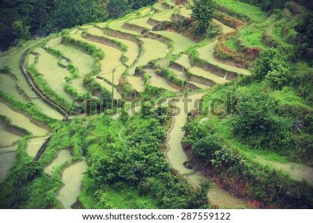 rice paddy in summer rain,china - stock photo
