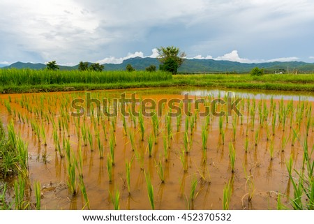 Rice plant in rice field near Chiang Mai, Thailand