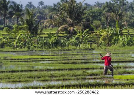 Rice Planting in Bali island, Indonesia. - stock photo