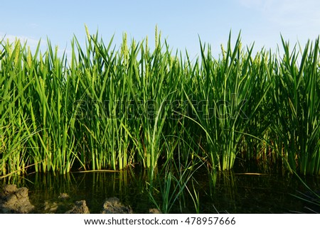 Rice plants on water.